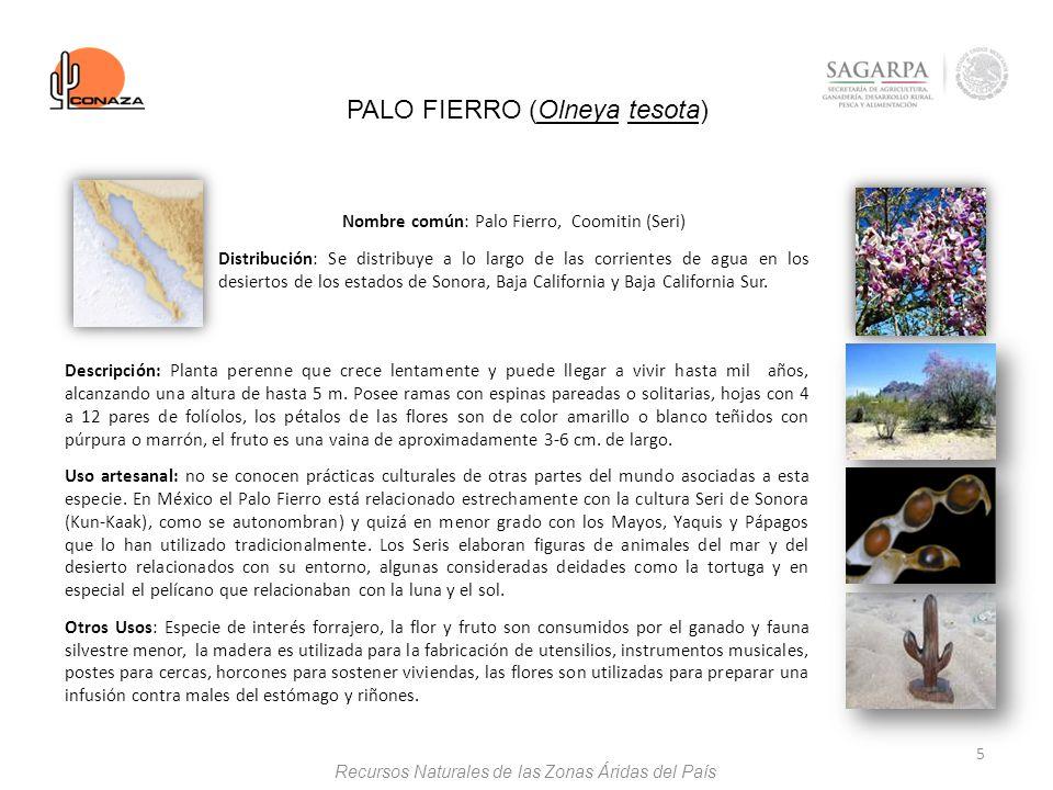 PALO FIERRO (Olneya tesota)