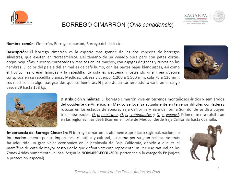 BORREGO CIMARRÓN (Ovis canadensis)