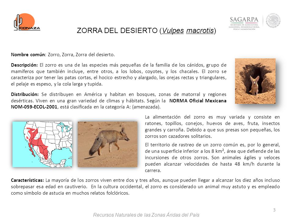 ZORRA DEL DESIERTO (Vulpes macrotis)