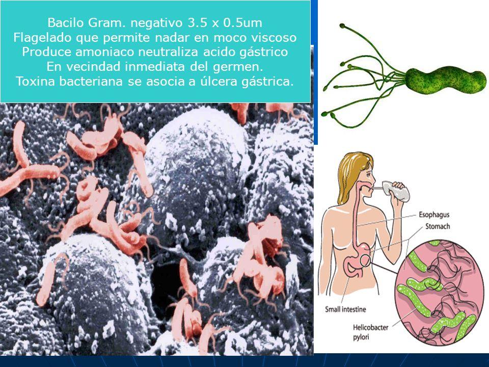 Bacilo Gram. negativo 3.5 x 0.5um