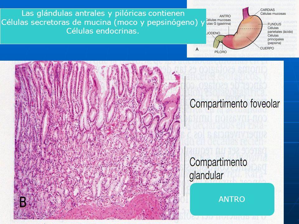 Las glándulas antrales y pilóricas contienen