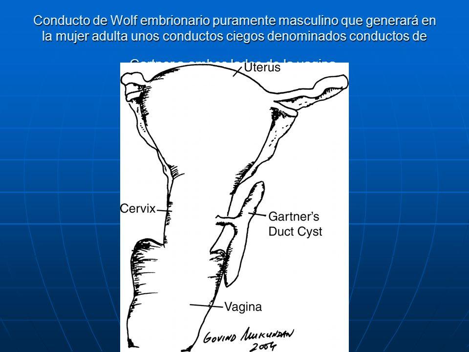 Conducto de Wolf embrionario puramente masculino que generará en la mujer adulta unos conductos ciegos denominados conductos de Gartner a ambos lados de la vagina.