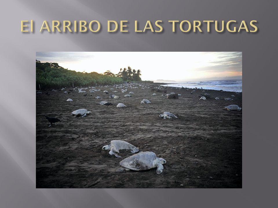 El ARRIBO DE LAS TORTUGAS