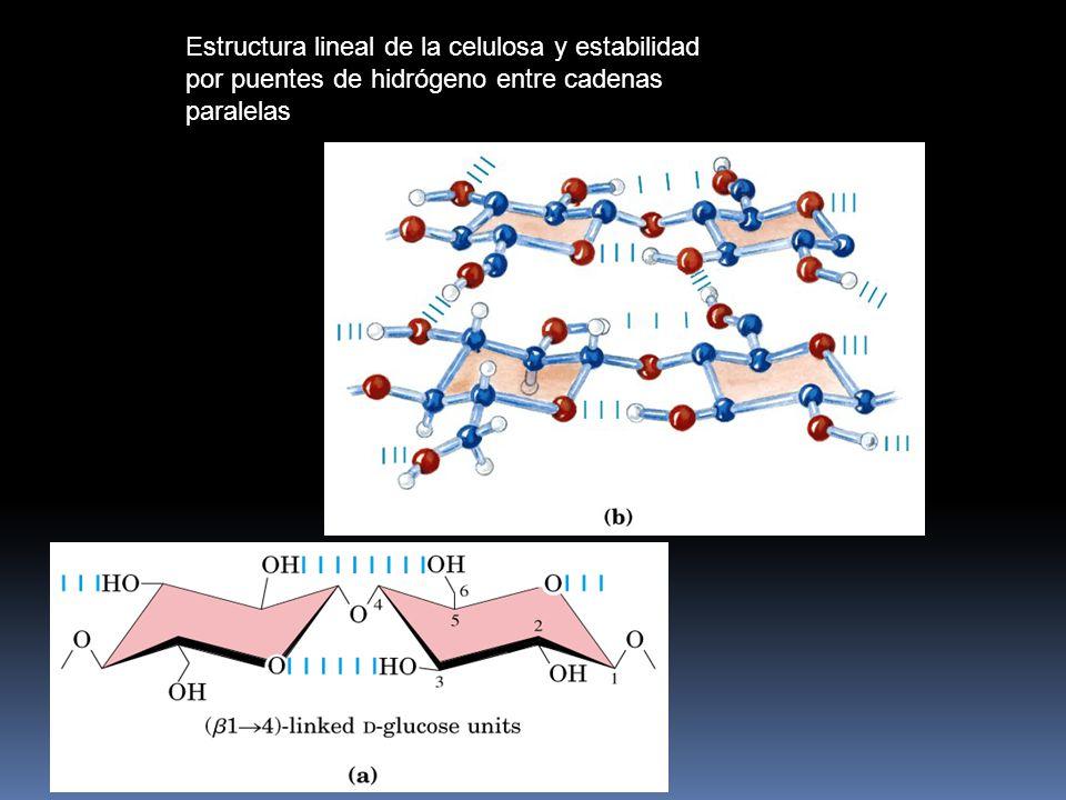 Estructura lineal de la celulosa y estabilidad