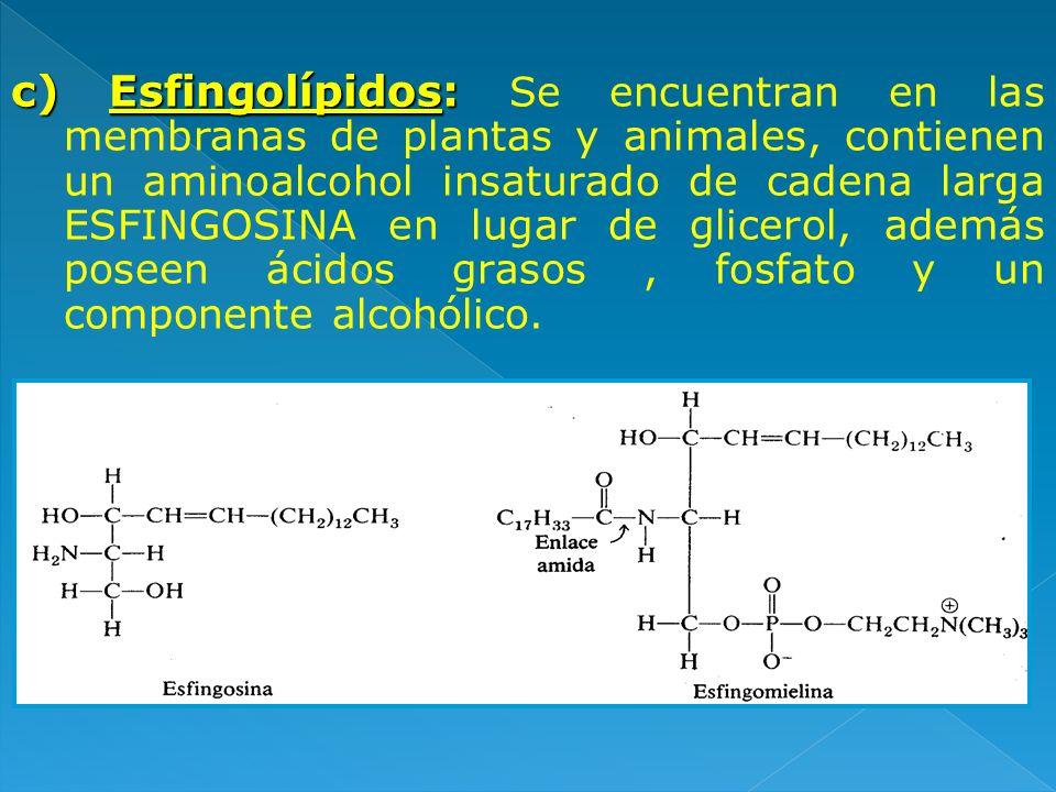 c) Esfingolípidos: Se encuentran en las membranas de plantas y animales, contienen un aminoalcohol insaturado de cadena larga ESFINGOSINA en lugar de glicerol, además poseen ácidos grasos , fosfato y un componente alcohólico.