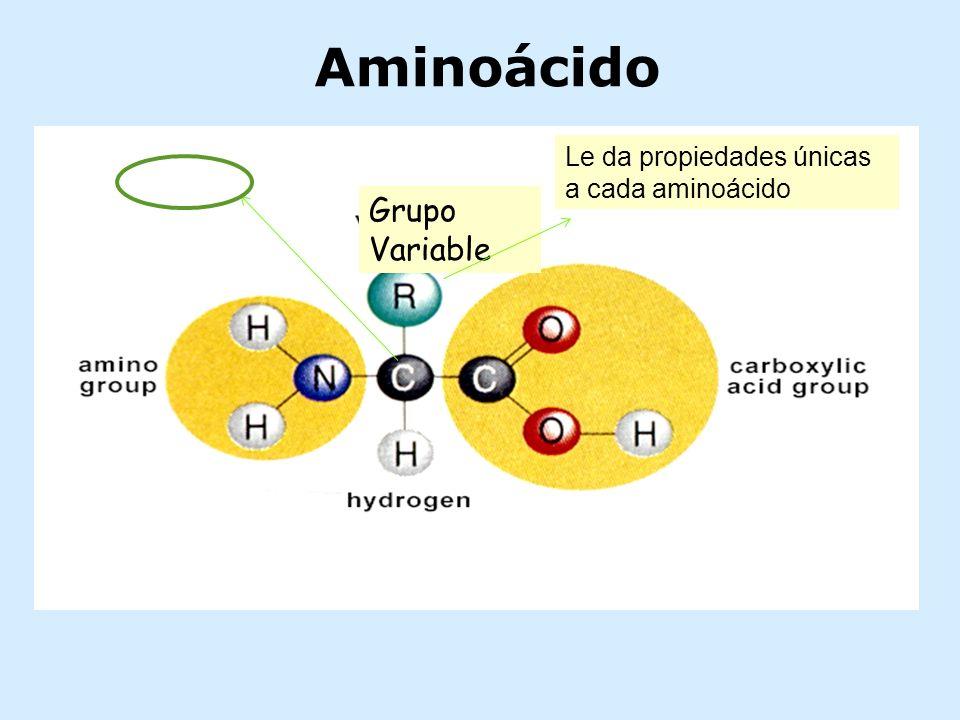 Aminoácido Le da propiedades únicas a cada aminoácido Grupo Variable