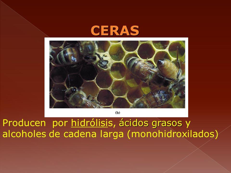 CERAS Producen por hidrólisis, ácidos grasos y