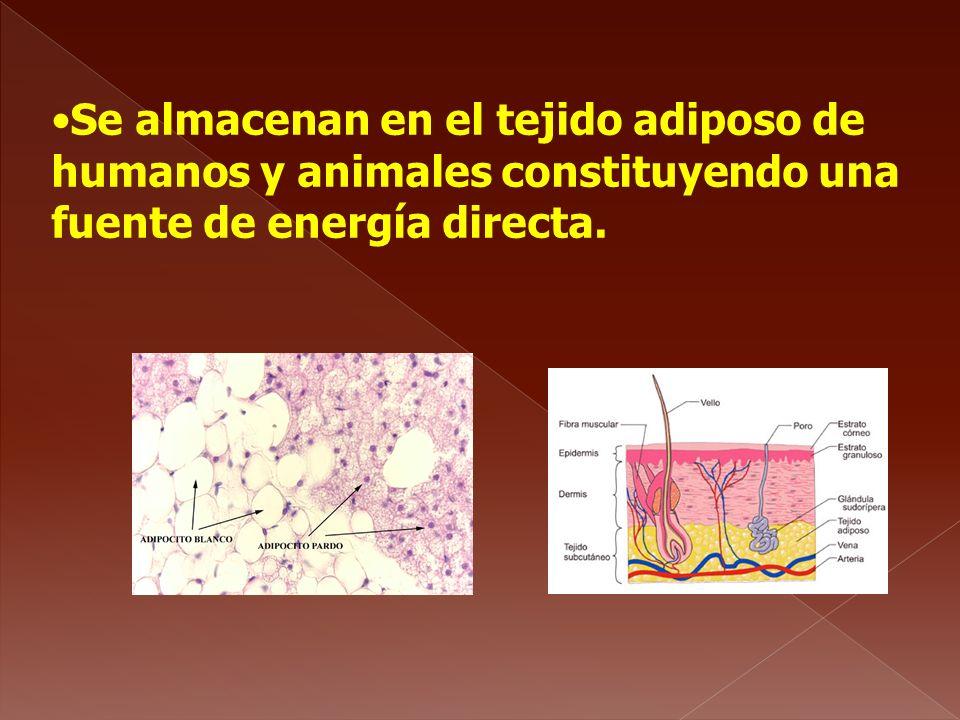 Se almacenan en el tejido adiposo de humanos y animales constituyendo una fuente de energía directa.