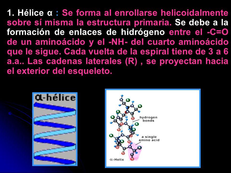 1. Hélice α : Se forma al enrollarse helicoidalmente sobre sí misma la estructura primaria. Se debe a la formación de enlaces de hidrógeno entre el -C=O de un aminoácido y el -NH- del cuarto aminoácido que le sigue. Cada vuelta de la espiral tiene de 3 a 6 a.a.. Las cadenas laterales (R) , se proyectan hacia el exterior del esqueleto.