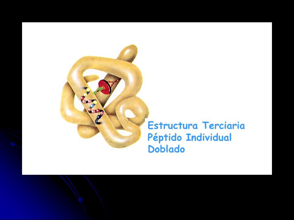 Estructura Terciaria Péptido Individual Doblado
