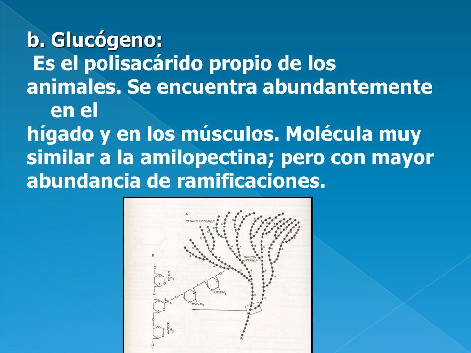 b. Glucógeno: Es el polisacárido propio de los. animales. Se encuentra abundantemente en el. hígado y en los músculos. Molécula muy.