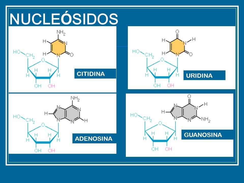 NUCLEÓSIDOS CITIDINA URIDINA GUANOSINA ADENOSINA