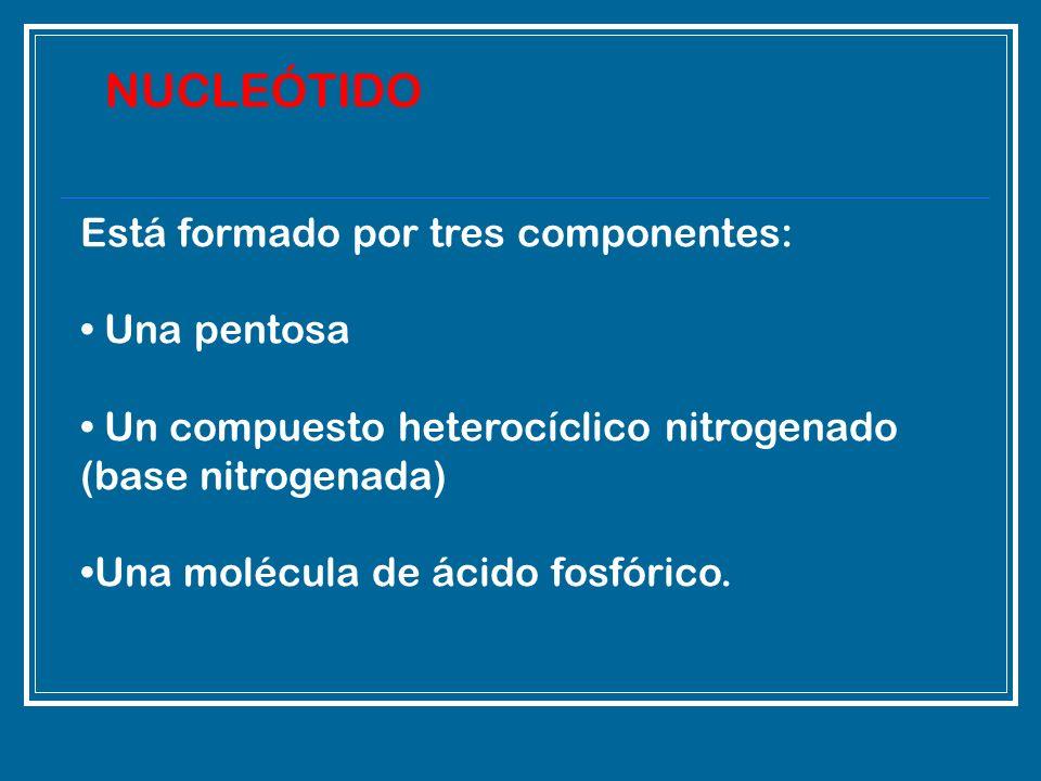 NUCLEÓTIDO Está formado por tres componentes: Una pentosa