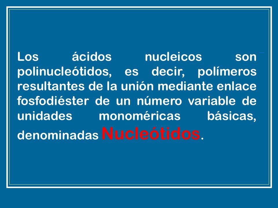 Los ácidos nucleicos son polinucleótidos, es decir, polímeros resultantes de la unión mediante enlace fosfodiéster de un número variable de unidades monoméricas básicas, denominadas Nucleótidos.