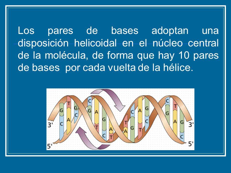 Los pares de bases adoptan una disposición helicoidal en el núcleo central de la molécula, de forma que hay 10 pares de bases por cada vuelta de la hélice.