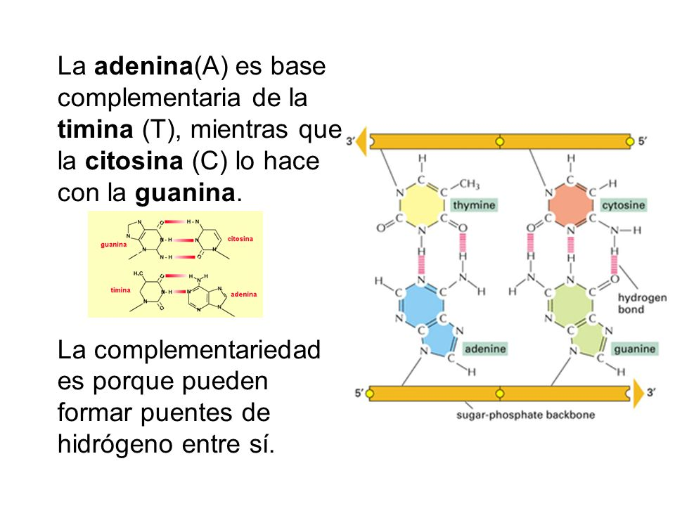 La adenina(A) es base complementaria de la timina (T), mientras que la citosina (C) lo hace con la guanina.