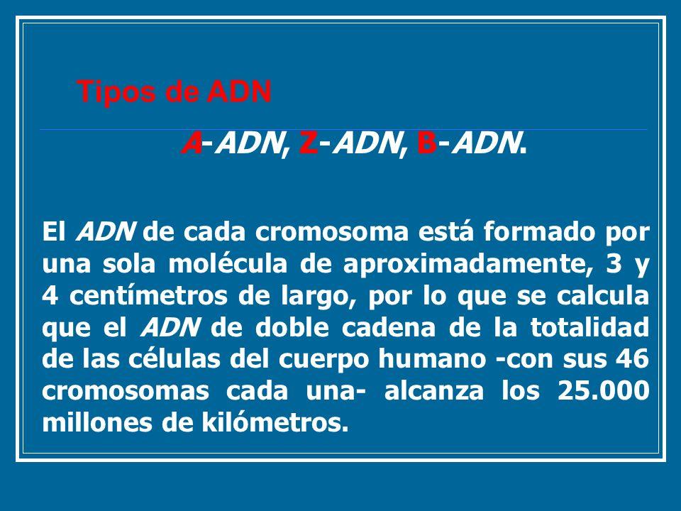 Tipos de ADNA-ADN, Z-ADN, B-ADN.