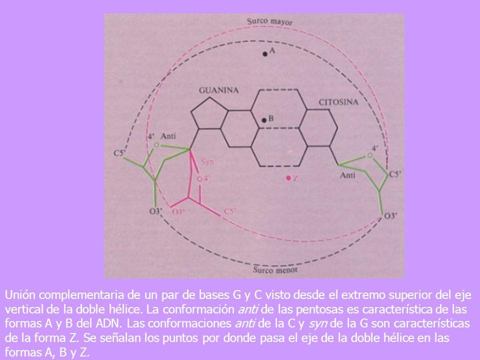 Unión complementaria de un par de bases G y C visto desde el extremo superior del eje vertical de la doble hélice.