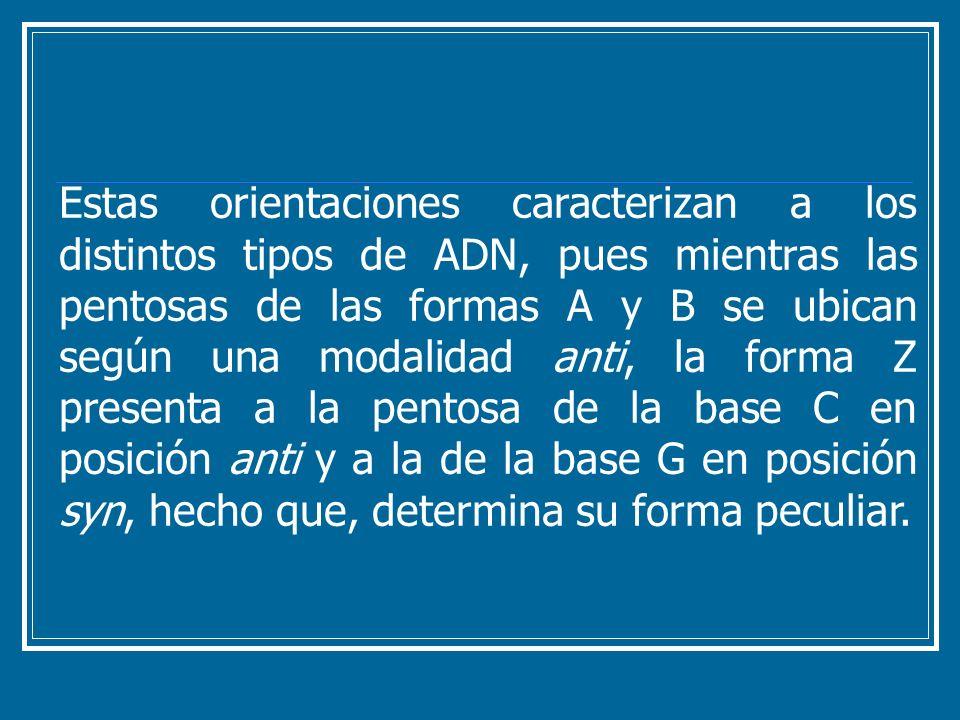 Estas orientaciones caracterizan a los distintos tipos de ADN, pues mientras las pentosas de las formas A y B se ubican según una modalidad anti, la forma Z presenta a la pentosa de la base C en posición anti y a la de la base G en posición syn, hecho que, determina su forma peculiar.