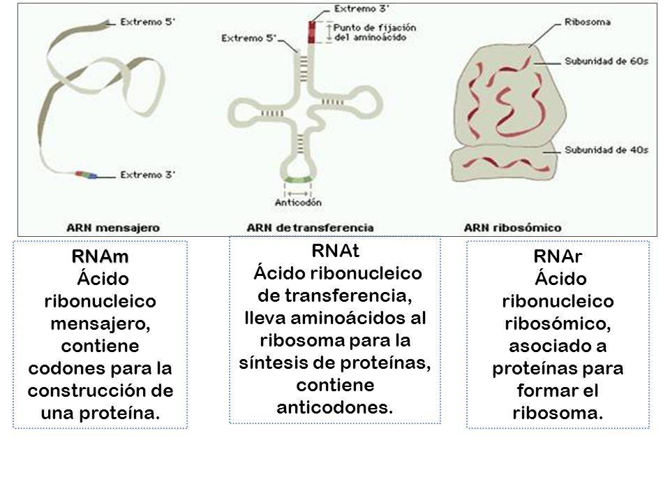 RNAt Ácido ribonucleico de transferencia, lleva aminoácidos al ribosoma para la síntesis de proteínas, contiene anticodones.