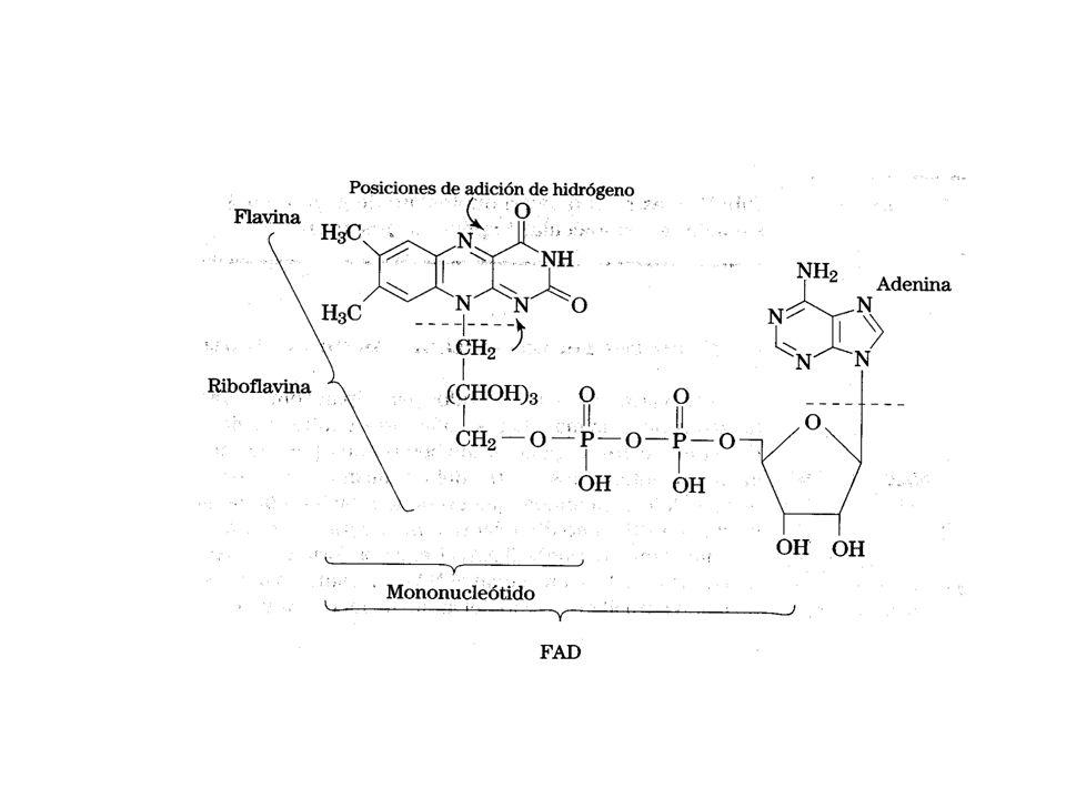 El dinucleótido de flavina y adenina, FAD/ FADH2 formas oxidada y reducida respectivamente, también son moléculas de oxidación-reducción.