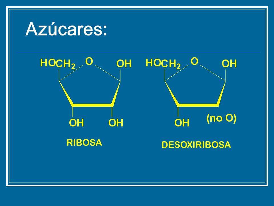 Azúcares: RIBOSA DESOXIRIBOSA