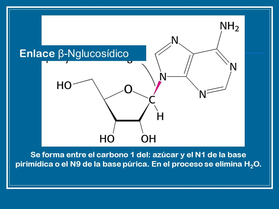 Enlace β-Nglucosídico
