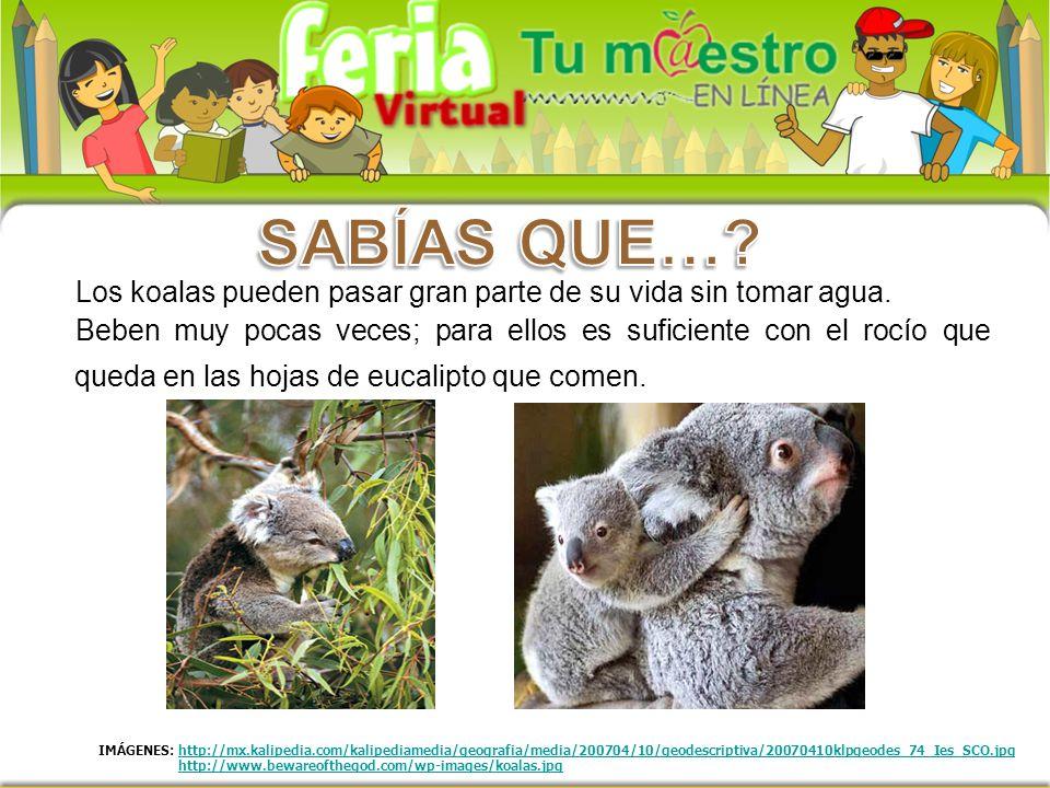 SABÍAS QUE… Los koalas pueden pasar gran parte de su vida sin tomar agua.