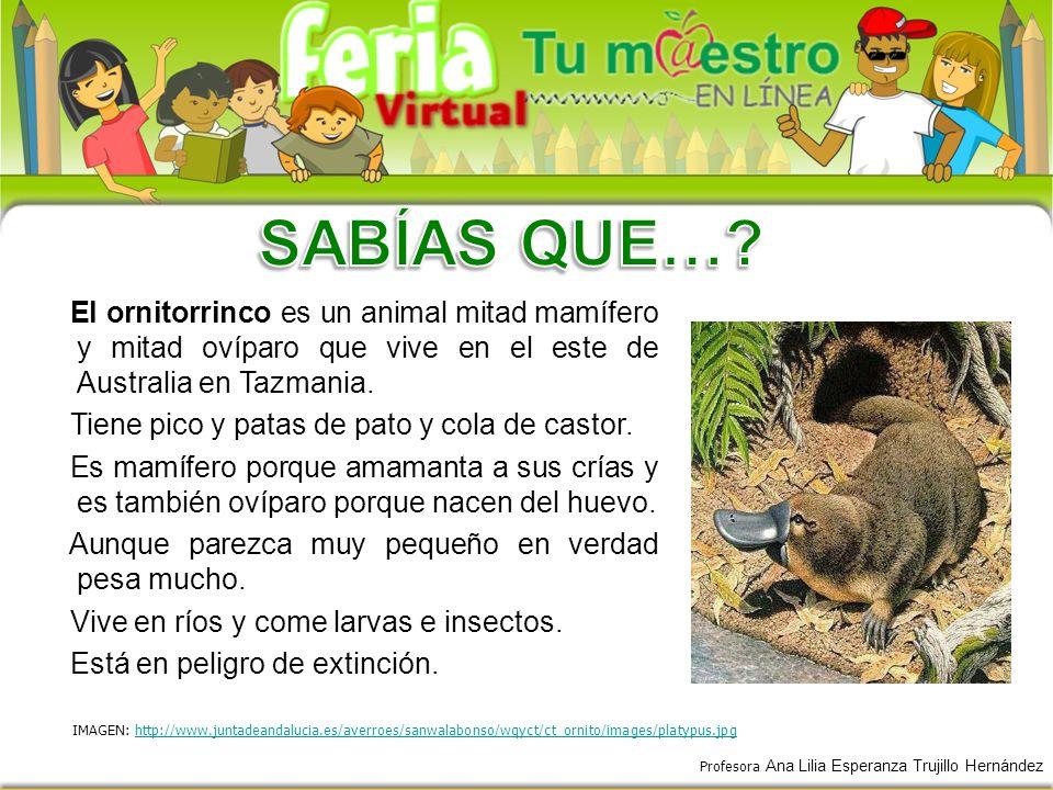 SABÍAS QUE… El ornitorrinco es un animal mitad mamífero y mitad ovíparo que vive en el este de Australia en Tazmania.