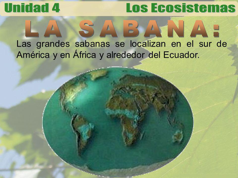 LA SABANA: Las grandes sabanas se localizan en el sur de América y en África y alrededor del Ecuador.