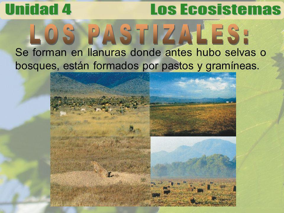 LOS PASTIZALES: Se forman en llanuras donde antes hubo selvas o bosques, están formados por pastos y gramíneas.
