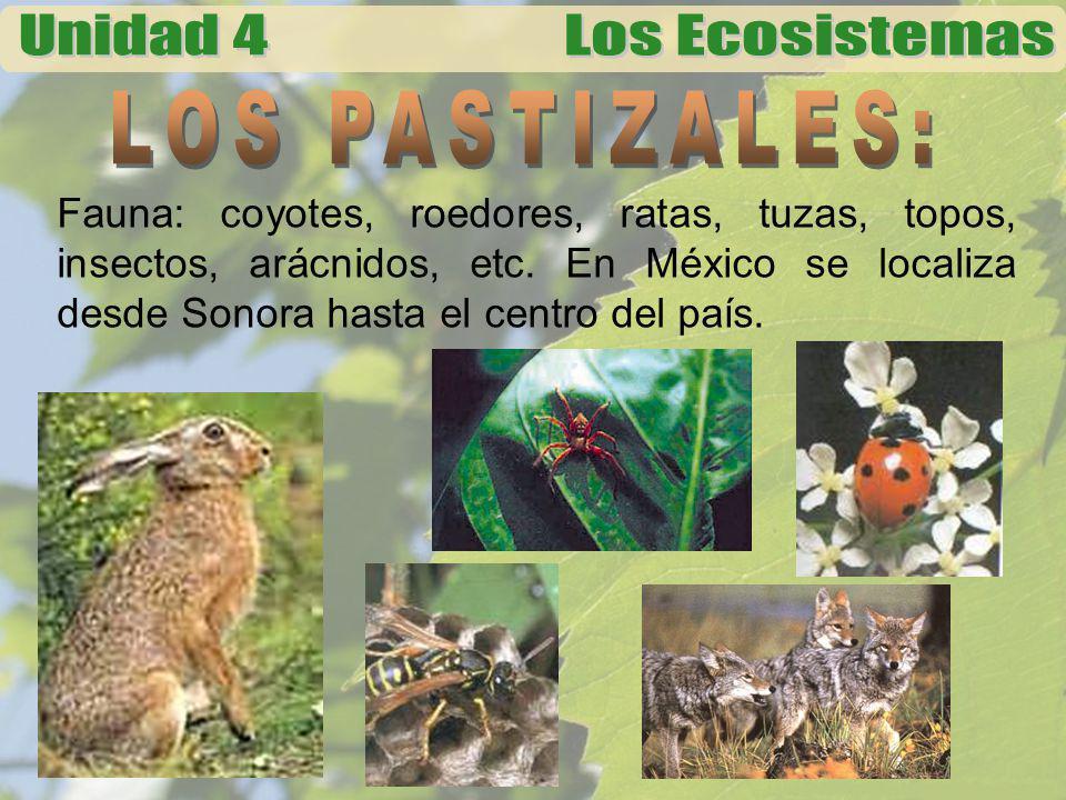 LOS PASTIZALES: Fauna: coyotes, roedores, ratas, tuzas, topos, insectos, arácnidos, etc.