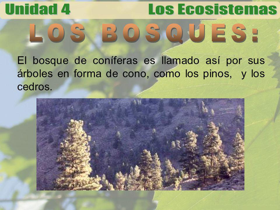 LOS BOSQUES: El bosque de coníferas es llamado así por sus árboles en forma de cono, como los pinos, y los cedros.