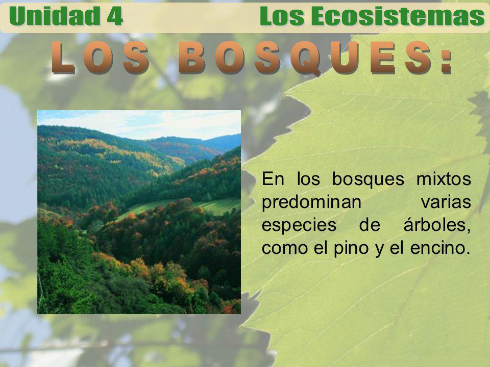 LOS BOSQUES: En los bosques mixtos predominan varias especies de árboles, como el pino y el encino.