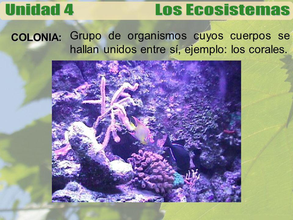 Grupo de organismos cuyos cuerpos se hallan unidos entre sí, ejemplo: los corales.