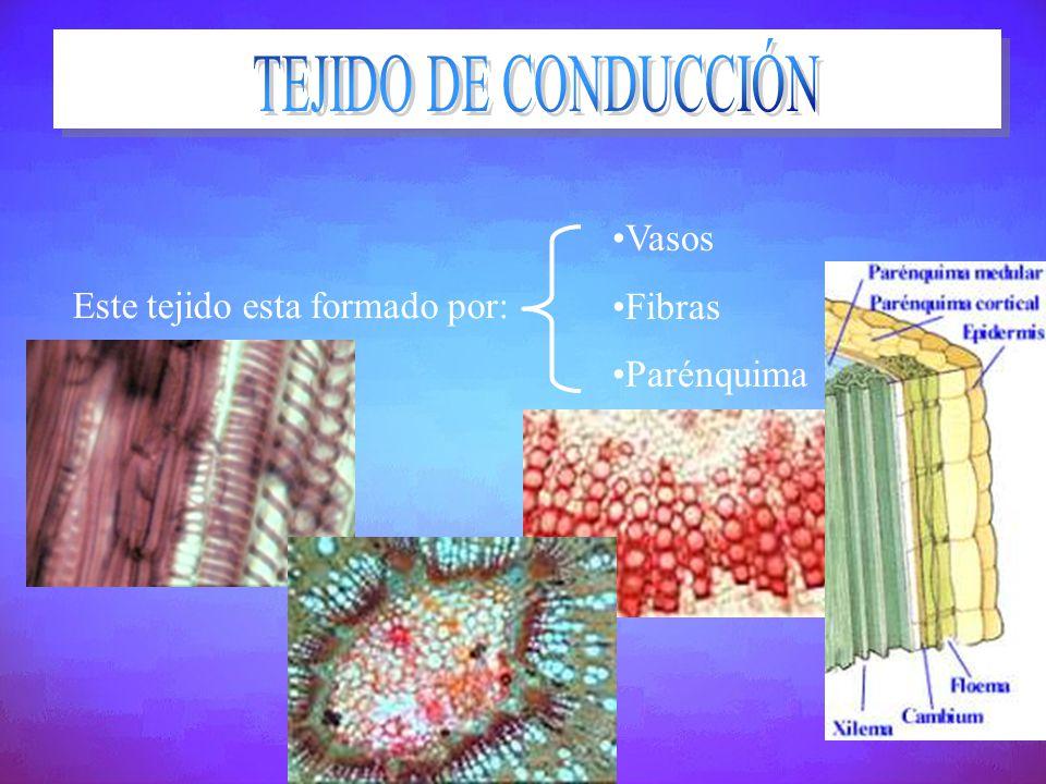 TEJIDO DE CONDUCCIÓN Vasos Fibras Parénquima