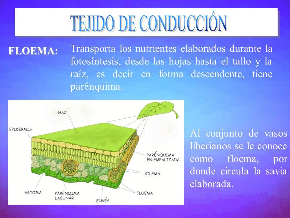 TEJIDO DE CONDUCCIÓN