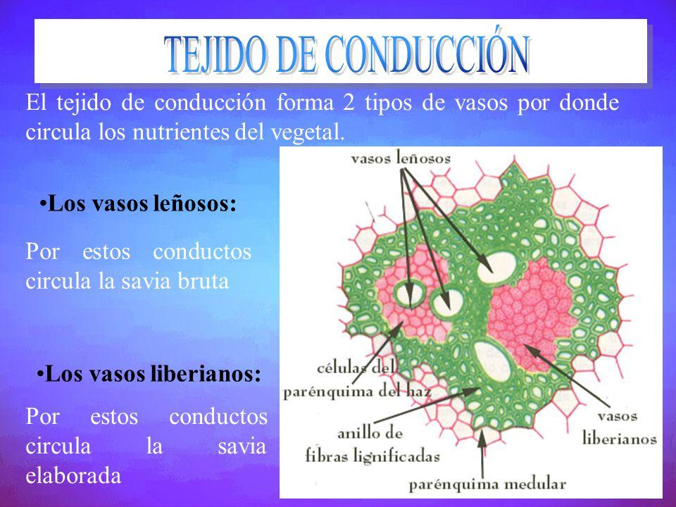 TEJIDO DE CONDUCCIÓN El tejido de conducción forma 2 tipos de vasos por donde circula los nutrientes del vegetal.