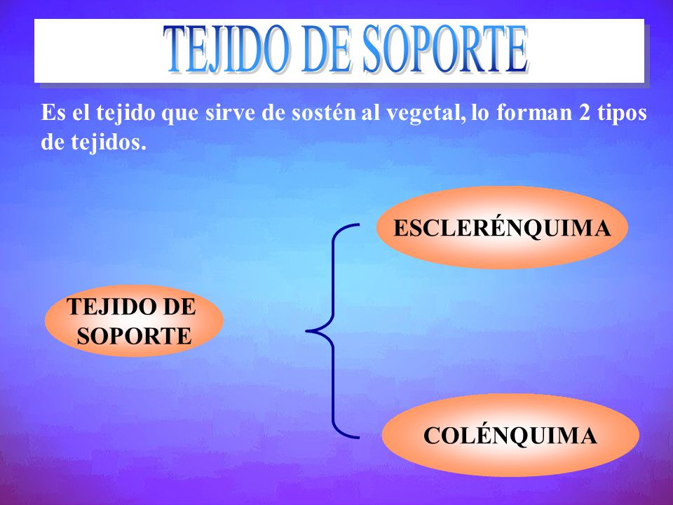 TEJIDO DE SOPORTE Es el tejido que sirve de sostén al vegetal, lo forman 2 tipos de tejidos. ESCLERÉNQUIMA.