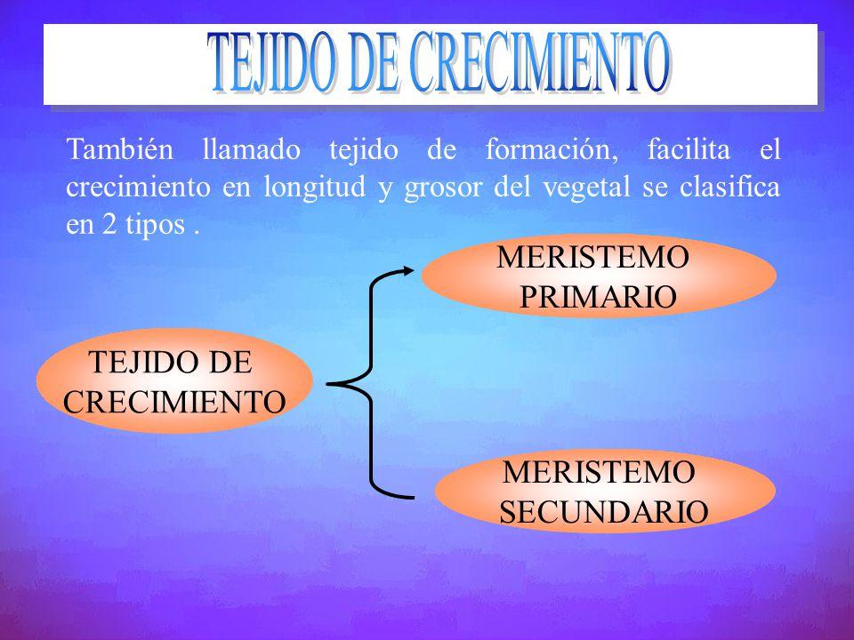 TEJIDO DE CRECIMIENTO MERISTEMO PRIMARIO TEJIDO DE CRECIMIENTO
