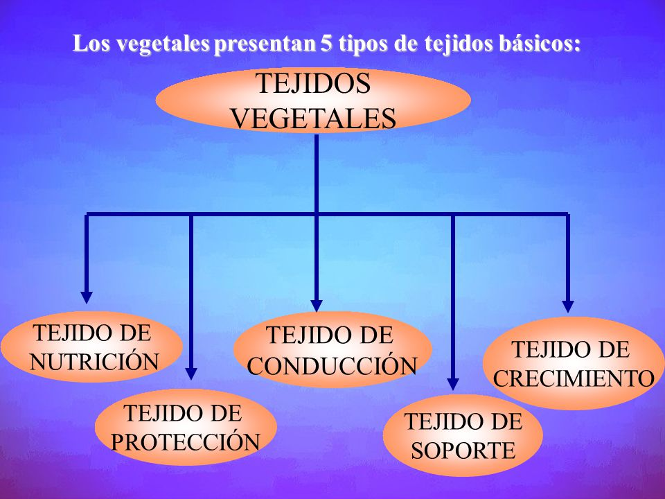 TEJIDOS VEGETALES TEJIDO DE CONDUCCIÓN
