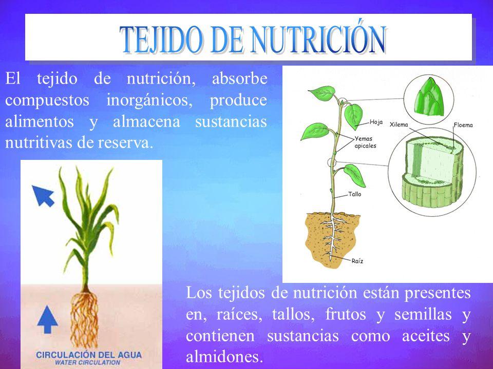TEJIDO DE NUTRICIÓN El tejido de nutrición, absorbe compuestos inorgánicos, produce alimentos y almacena sustancias nutritivas de reserva.