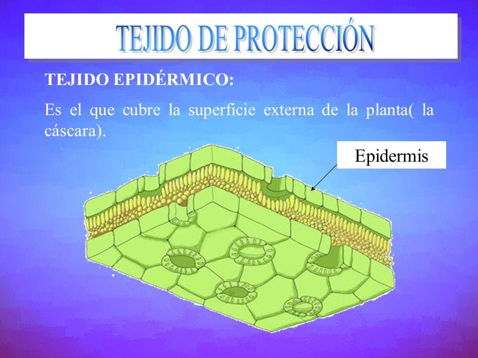 TEJIDO DE PROTECCIÓN Epidermis TEJIDO EPIDÉRMICO: