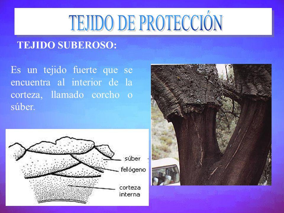 TEJIDO DE PROTECCIÓN TEJIDO SUBEROSO: