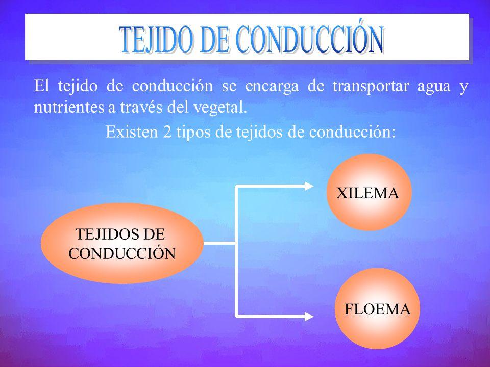 Existen 2 tipos de tejidos de conducción:
