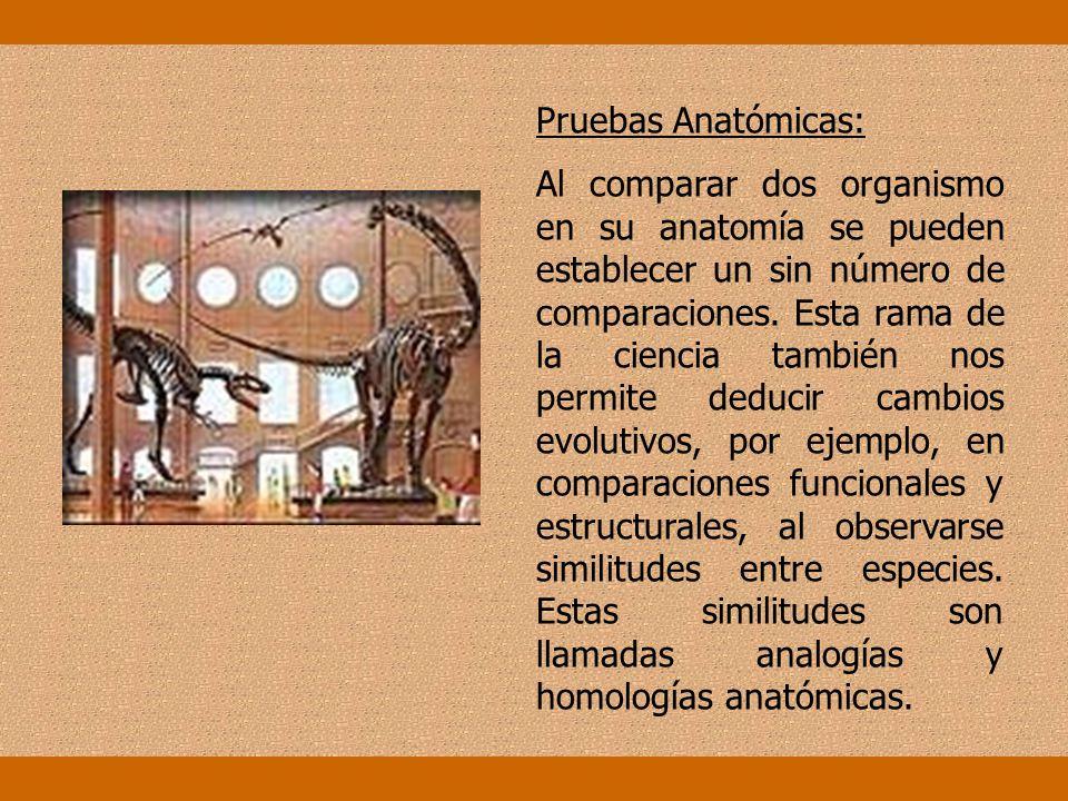Pruebas Anatómicas: