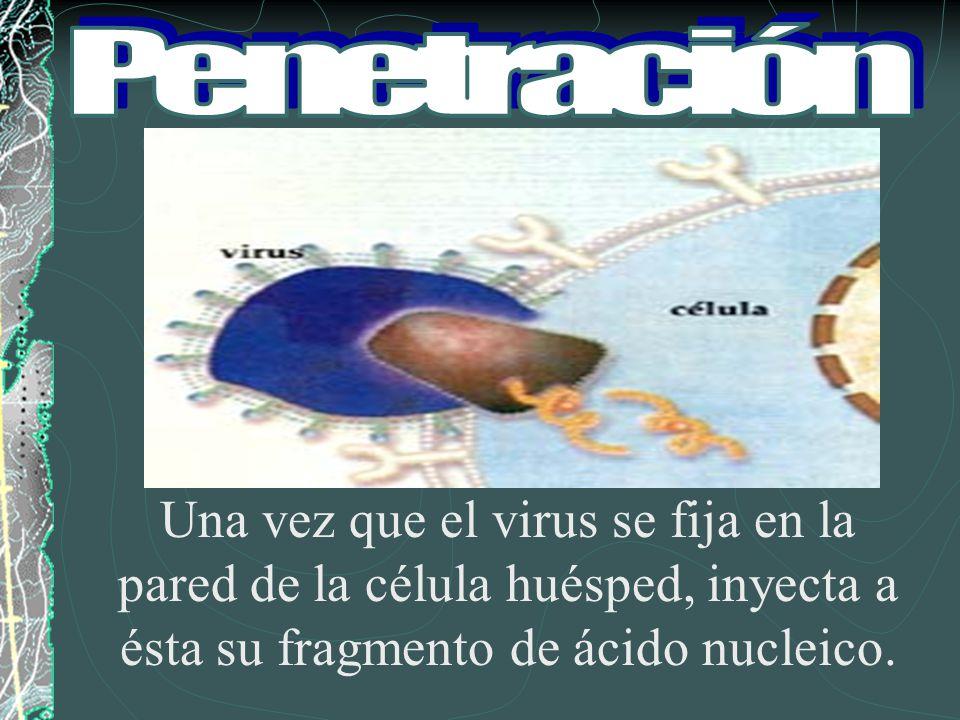 Penetración Una vez que el virus se fija en la pared de la célula huésped, inyecta a ésta su fragmento de ácido nucleico.