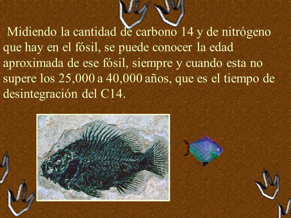 Midiendo la cantidad de carbono 14 y de nitrógeno que hay en el fósil, se puede conocer la edad aproximada de ese fósil, siempre y cuando esta no supere los 25,000 a 40,000 años, que es el tiempo de desintegración del C14.