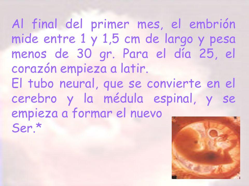 Al final del primer mes, el embrión mide entre 1 y 1,5 cm de largo y pesa menos de 30 gr. Para el día 25, el corazón empieza a latir.