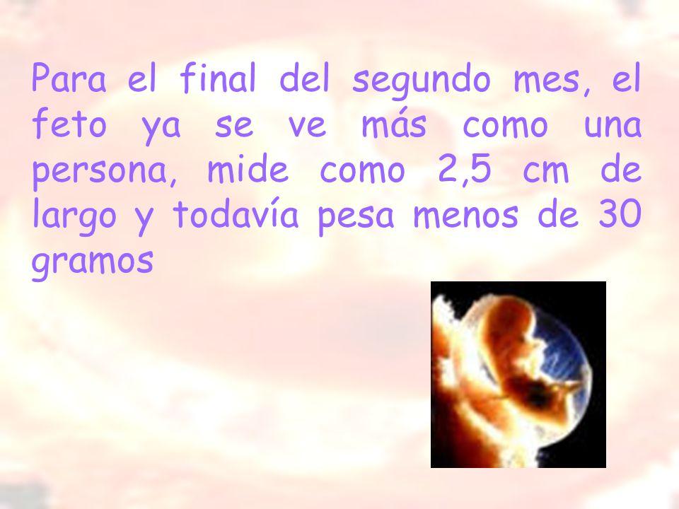 Para el final del segundo mes, el feto ya se ve más como una persona, mide como 2,5 cm de largo y todavía pesa menos de 30 gramos